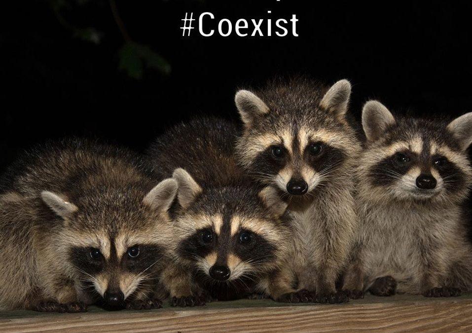 Raccoon Log 1