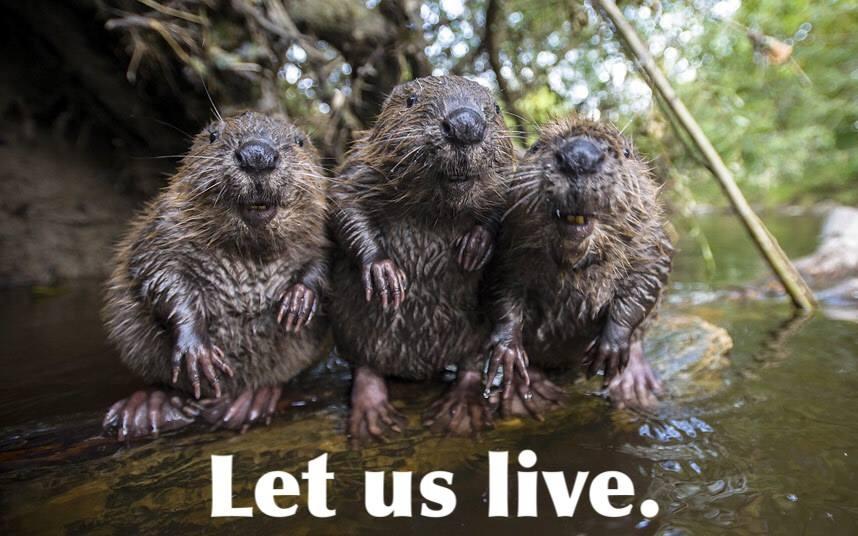 Respect Beavers